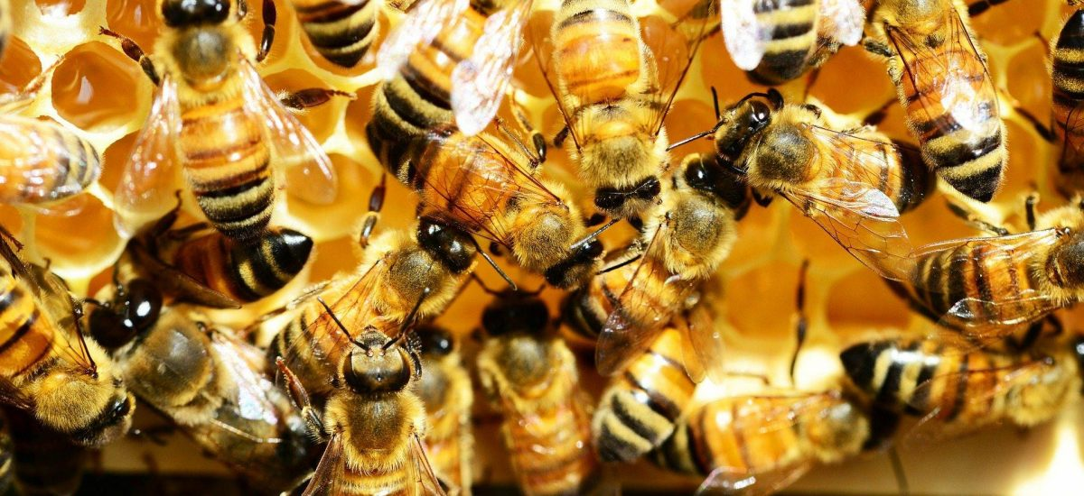 honey-bees-345620_1920
